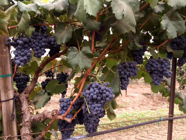 juice grapes
